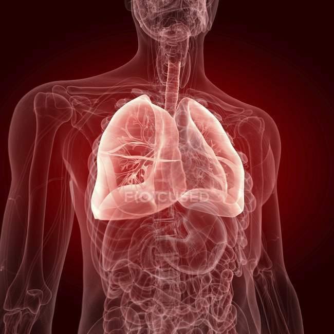 Ilustración de pulmones visibles en silueta transparente del cuerpo humano . - foto de stock