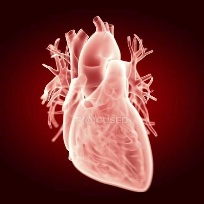 Ilustración de la silueta transparente del corazón humano . - foto de stock