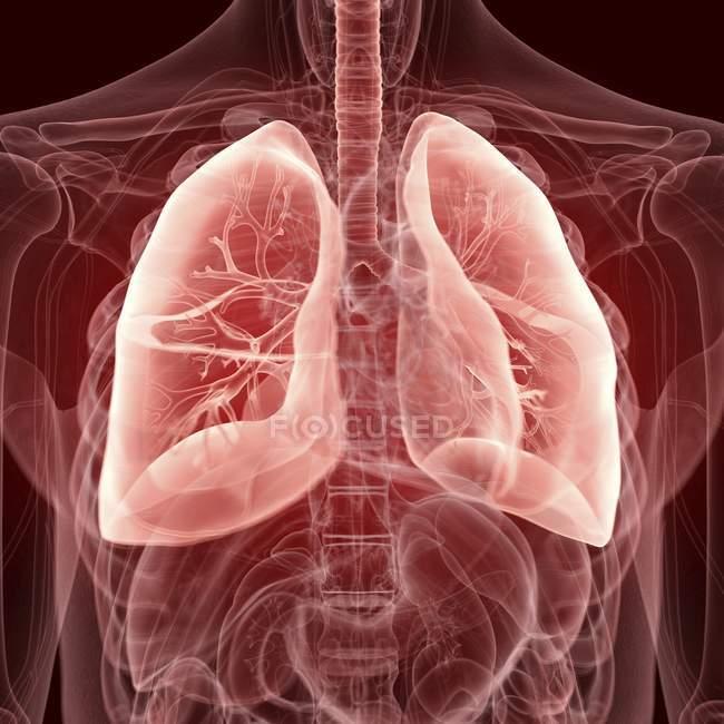 Ілюстрація видно легенів у прозорий людського тіла силует. — стокове фото