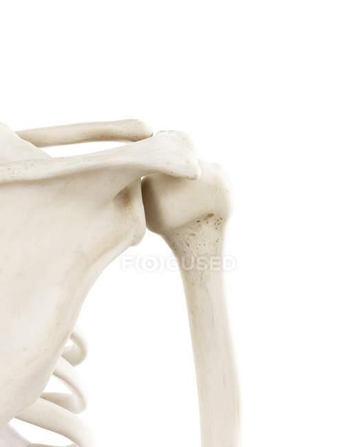 Ilustración de los huesos del hombro humano sobre fondo blanco . - foto de stock