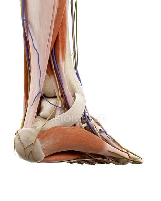 Ilustración de la anatomía del pie humano sobre fondo blanco . - foto de stock