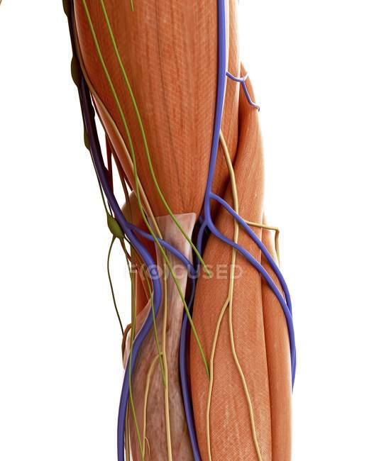 Ilustração da anatomia humana cotovelo no fundo branco. — Fotografia de Stock