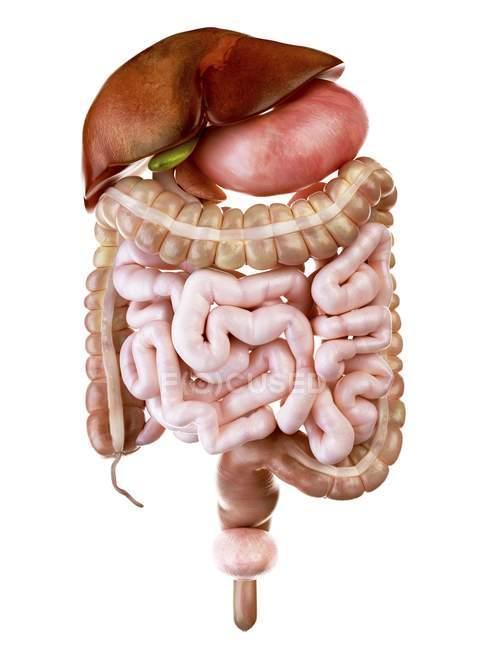 Ilustración del sistema digestivo humano sobre fondo blanco . - foto de stock