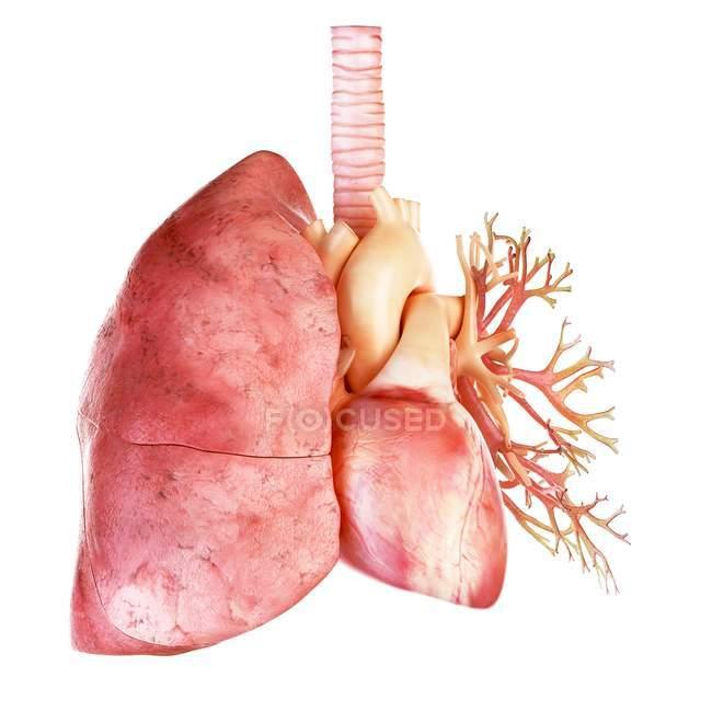 Illustration du cœur et du poumon humains sur fond blanc . — Photo de stock