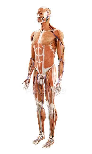 Ілюстрація м'язи у людини на білому тлі. — стокове фото