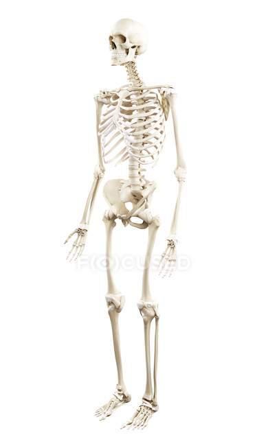 Ілюстрація того, скелет людини на білому тлі. — стокове фото