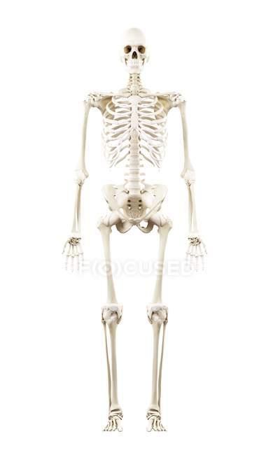 Ilustración del esqueleto humano sobre fondo blanco . - foto de stock