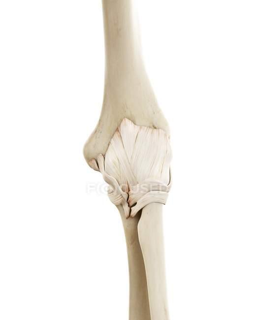 Ilustração de ossos humanos cotovelo no fundo branco. — Fotografia de Stock