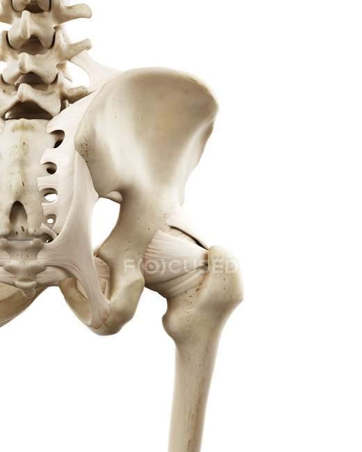 Ilustración de huesos humanos de cadera sobre fondo blanco . - foto de stock