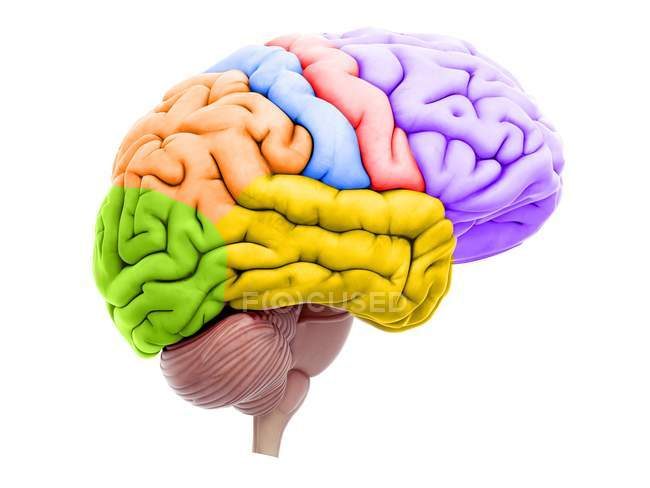 Illustration of colored brain sections on white background. — Stock Photo