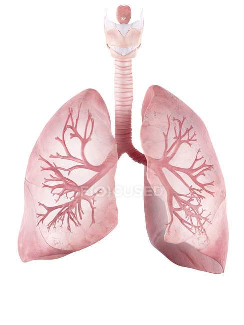 Ilustração de pulmões e brônquios humanos . — Fotografia de Stock
