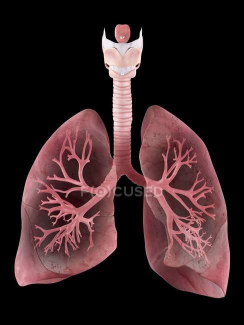 Ілюстрація людини легенів і бронхів. — стокове фото