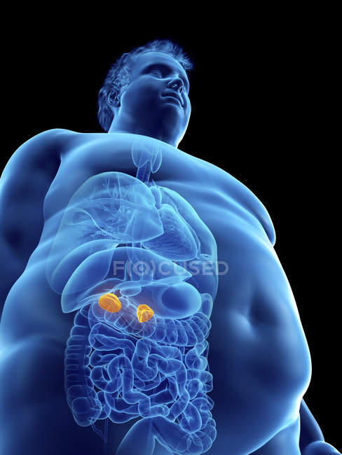 Ilustración de la silueta del hombre obeso con glándulas suprarrenales visibles . - foto de stock