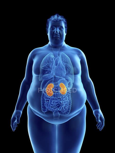 Ілюстрація силует ожирінням людина з видимими нирок. — стокове фото