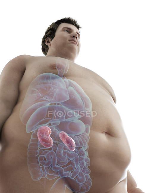 Ilustración de la figura del hombre obeso con riñones visibles . - foto de stock