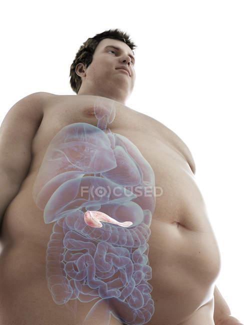 Ilustración de la figura del hombre obeso con páncreas visible . - foto de stock