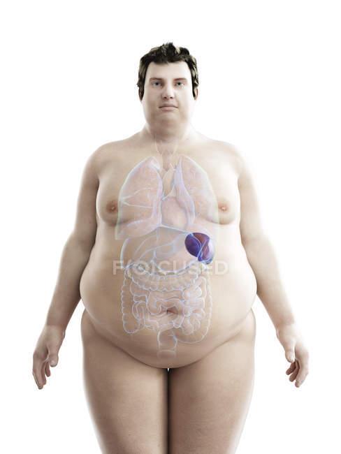 Ilustración de la figura del hombre obeso con bazo visible . - foto de stock