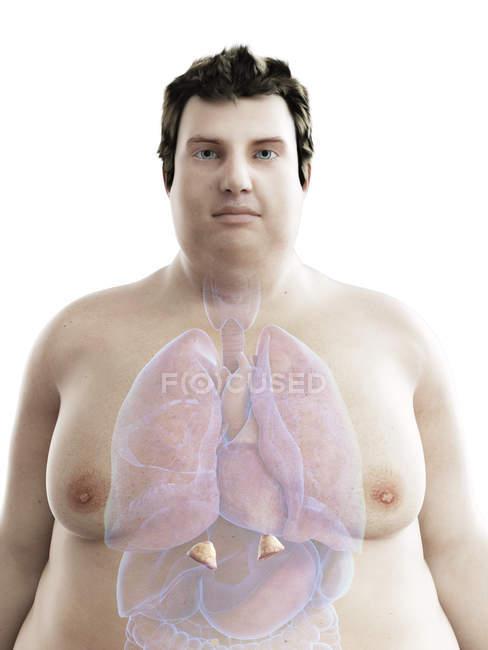 Ilustración de la figura del hombre obeso con glándulas suprarrenales visibles . - foto de stock