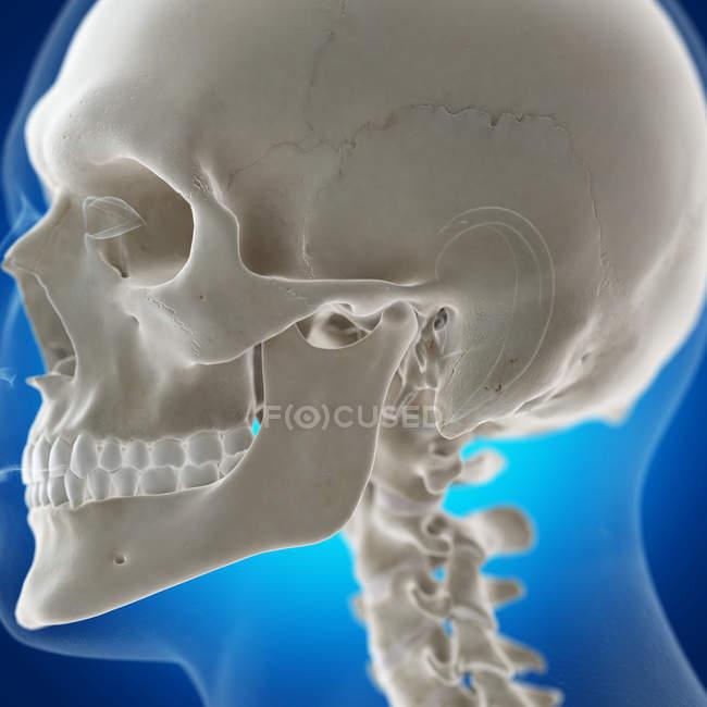 Digital illustration of temporomandibular joint in human skeleton. — Stock Photo