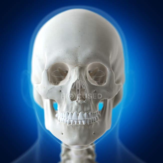 Ilustración del cráneo humano en esqueleto humano sobre fondo azul . - foto de stock