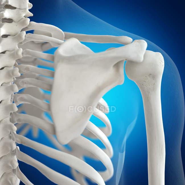 Ilustración de los huesos de los hombros en el esqueleto humano sobre fondo azul . - foto de stock