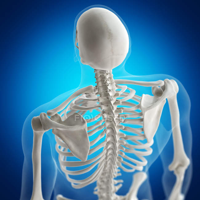 Illustration of back bones in human skeleton on blue background. — Stock Photo