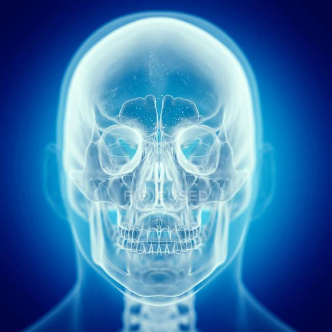 Abbildung des Schädels im menschlichen Skelett. — Stockfoto