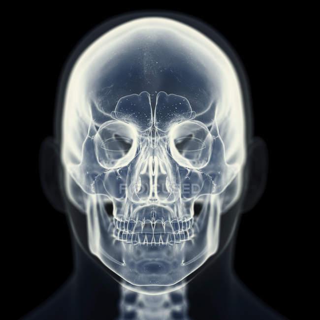 Ilustración de cráneo en esqueleto humano . - foto de stock