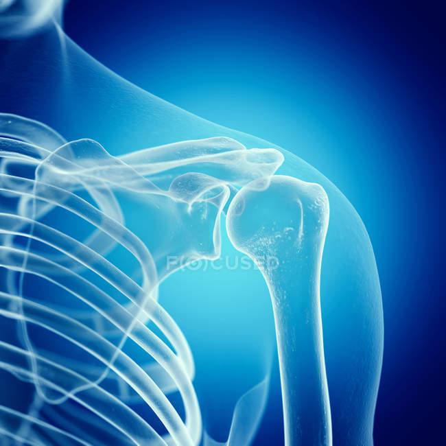 Ilustración de la articulación del hombro en el esqueleto humano . - foto de stock