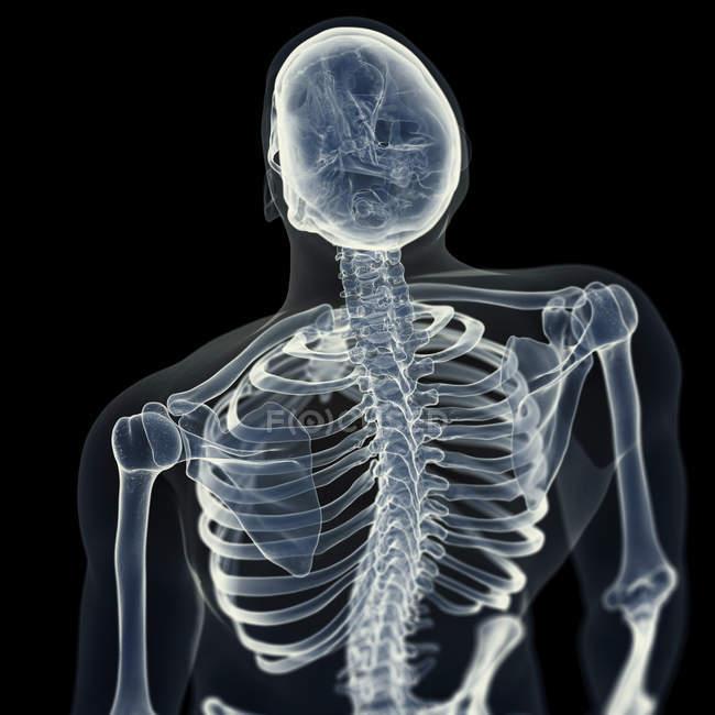 Ilustración de huesos de la espalda en el esqueleto humano . - foto de stock