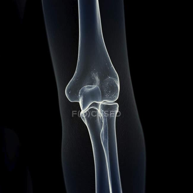 Ilustração dos ossos do cotovelo no esqueleto humano. — Fotografia de Stock