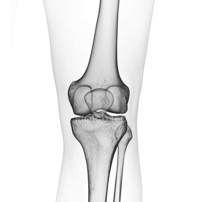 Illustration of knee bones in human skeleton on white background. — стоковое фото