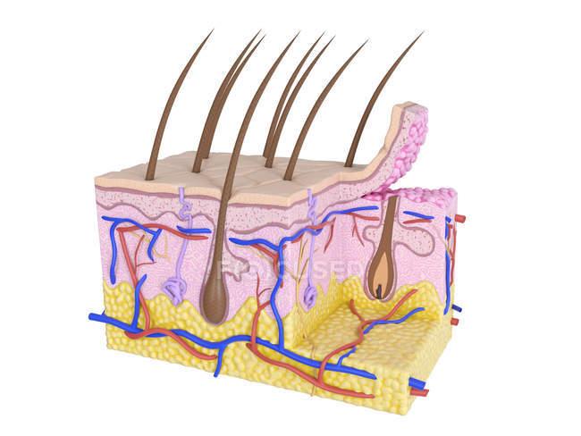 Иллюстрация анатомии человека кожи на белом фоне. — стоковое фото