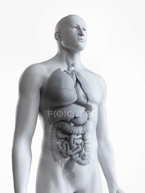 Анатомічні ілюстрація чоловіче тіло силует з видимими органів на білому тлі. — стокове фото