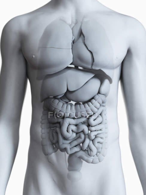 Anatomical illustration of male body silhouette with visible organs on white background. — Stock Photo
