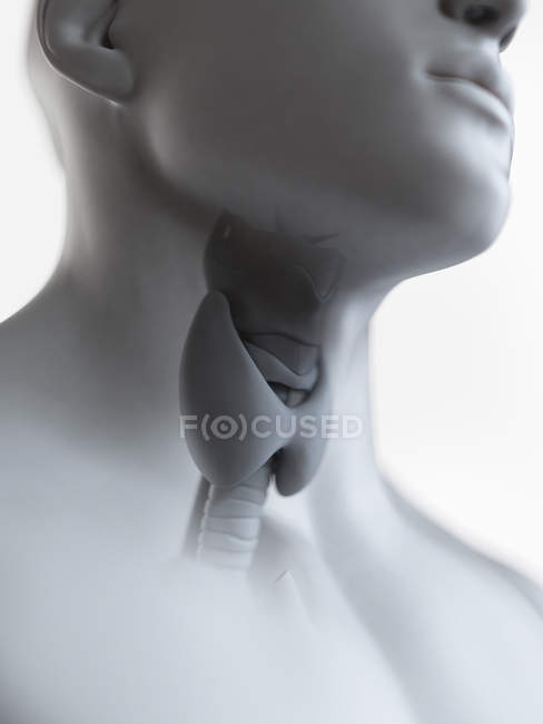 Illustration of thyroid gland in male throat silhouette. — Stock Photo
