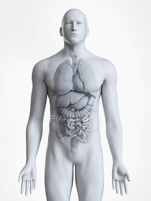 Ilustración anatómica de la silueta corporal masculina con órganos visibles sobre fondo blanco . - foto de stock