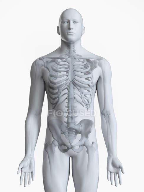 Иллюстрация мужского скелета человека на белом фоне . — стоковое фото