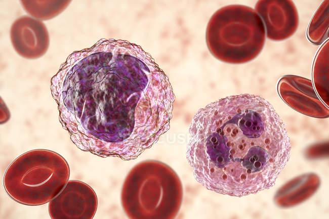 Neutrófilos e monócitos glóbulos brancos no esfregaço de sangue, ilustração digital . — Fotografia de Stock