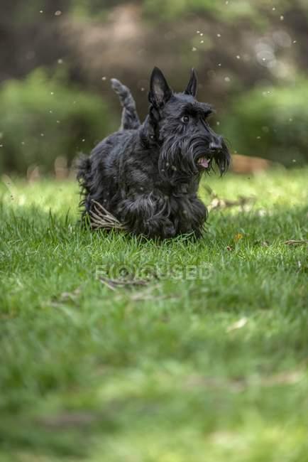 Cão de raça Terrier escocês ativo jogando ao ar livre na grama verde. — Fotografia de Stock