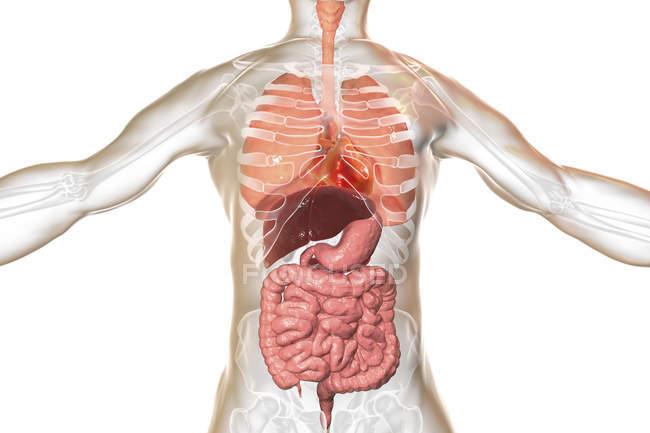 Иллюстрация мужской внутренних органов дыхательной и пищеварительной системы. — стоковое фото