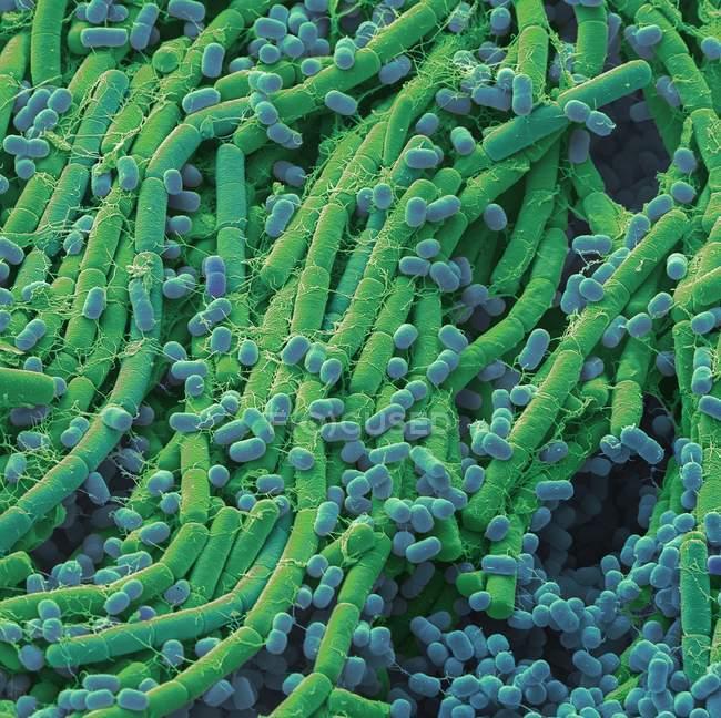 Soil bacteria, coloured scanning electron micrograph. — Stock Photo