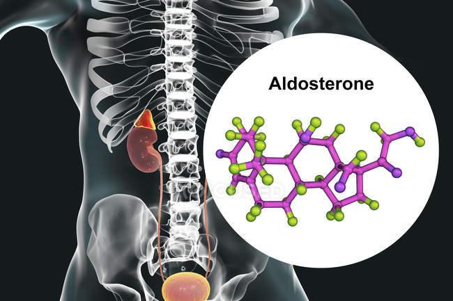Ilustración de la glándula suprarrenal y modelo molecular de la hormona esteroide Aldosterona . - foto de stock