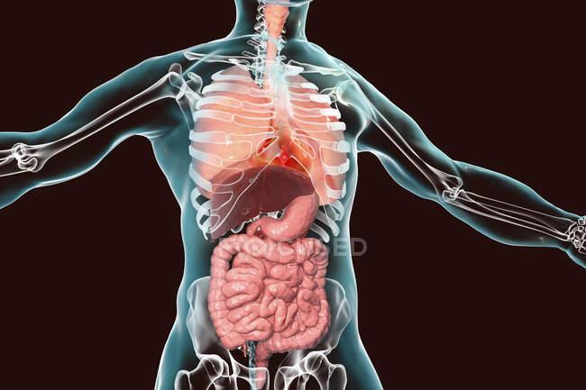 Anatomia del corpo umano che mostra sistemi respiratori e digestivi, illustrazione digitale . — Foto stock