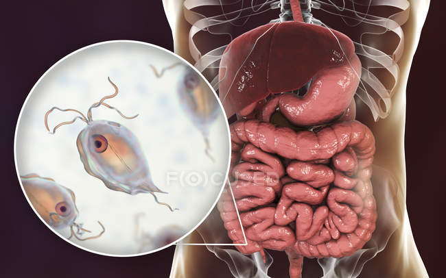 Pentatrichomonas hominis protozoan in human large intestine, digital illustration. — Stock Photo