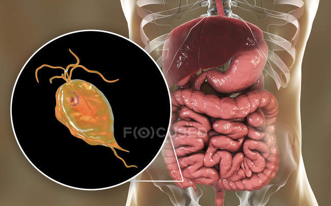 Pentatrichomonas hominis protozoan in human large intestine, digital illustration. - foto de stock