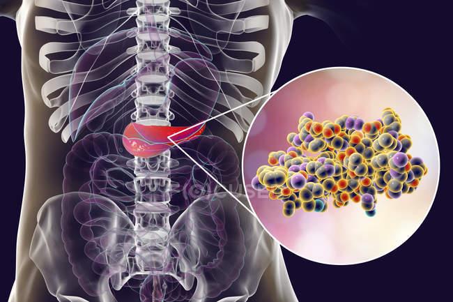 Pancréas dans le corps humain et vue rapprochée de la molécule d'insuline, illustration numérique . — Photo de stock