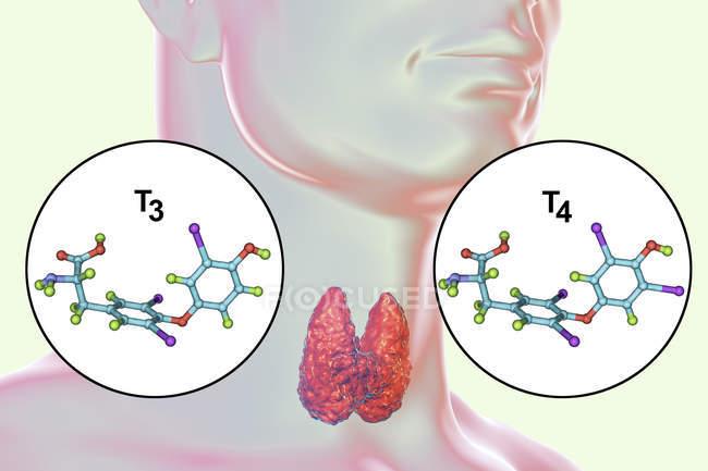 Moléculas de hormonas tiroideas triyodotironina T3 y tiroxina T4 en el cuerpo humano, ilustración digital . - foto de stock