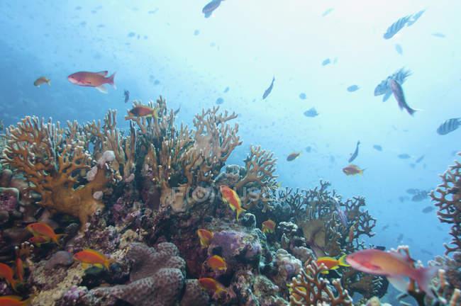 Богатая морская жизнь в тропических коралловых морских водах. — стоковое фото