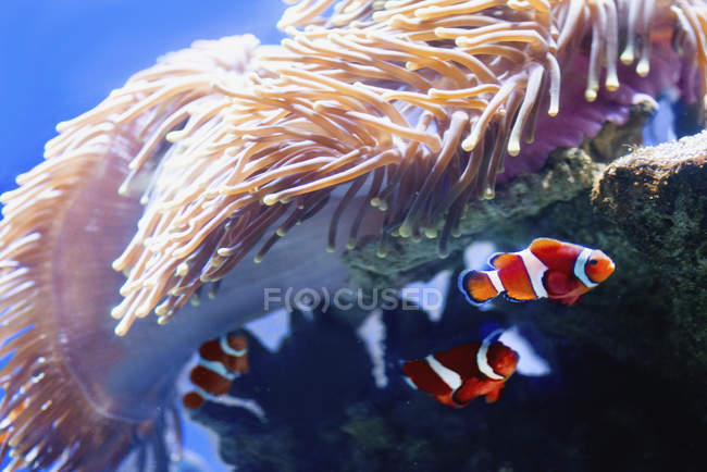 Orange clown fish swimming by anemones in water. — Stock Photo